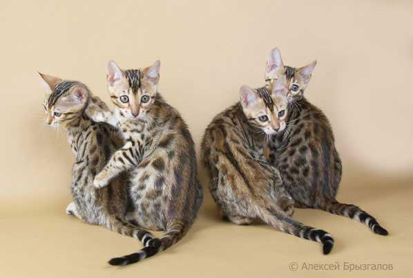 Фото бенгальской кошки.